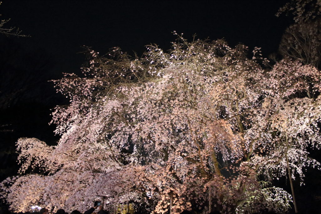 rikugien-Cherry Blossoms-illuminate